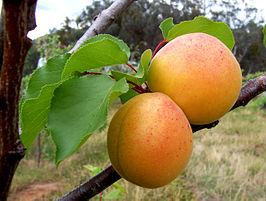 Abrikozenboom (halfstam) (Prunus armeniaca)