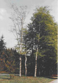 Beuk hoogstam (Fagus sylvatica)