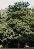 Esdoorn hoogstam (Acer pseudoplatanus)