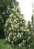 Vlier maat 60/90 (Sambucus nigra)