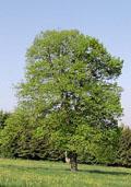 Kleinbladige linde hoogstam (Tilia cordata)