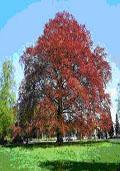 Rode beuk maat 60/90 (Fagus sylvatica 'Atropurpurea')
