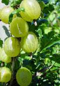 Stekelbes (witziekte resistent) (Ribes uva-crispa)
