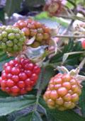 Doornloze braam (Rubus 'Thornless Evergreen')