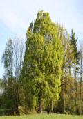 Veldesdoorn hoogstam (Acer campestre)