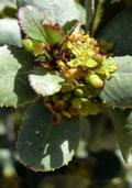 Vuilboom maat 60/90 (Rhamnus frangula)