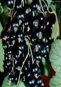 Aalbes zwart (Ribes rubrum)