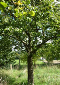 Perenboom (laagstam) (Pyrus communis)