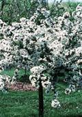 Kweepeer (laagstam) (Prunus cerasus)