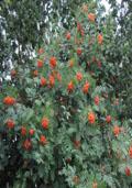 Lijsterbes hoogstam (Sorbus aucuparia)
