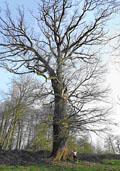 Zomereik hoogstam (Quercus robur)