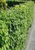 Haagbeuk hoogstam (Carpinus betulus)