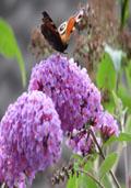 Vlinderbosje (plantenpakket)